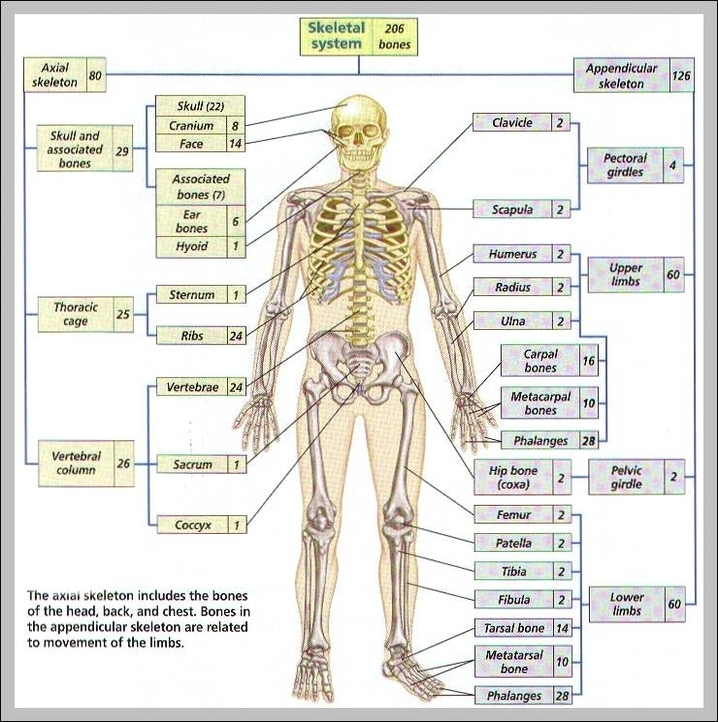 All 206 Bones Of The Human Body Diagram Auto Electrical Wiring