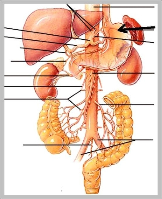 Human Heart Anatomy Anatomy System Human Body Anatomy Diagram