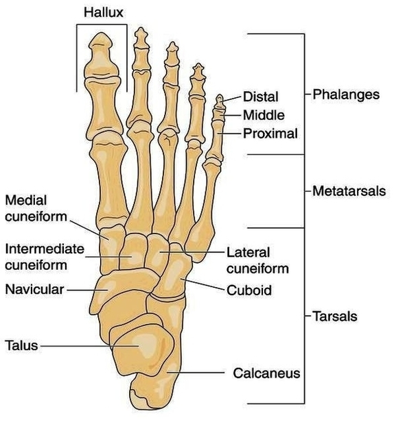 Foot Bone Anatomy System Human Body Anatomy Diagram And Chart Images