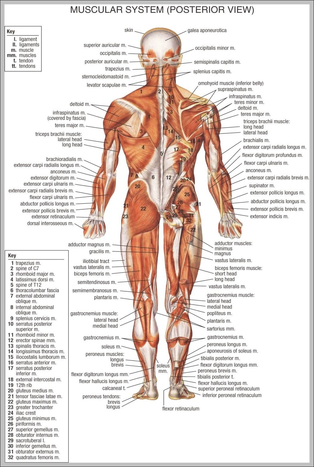 Diagrams anatomy system human body anatomy diagram and chart anatomy muscular system 10241586 diagram anatomy muscular system 10241586 chart human anatomy diagrams and charts explained ccuart Image collections