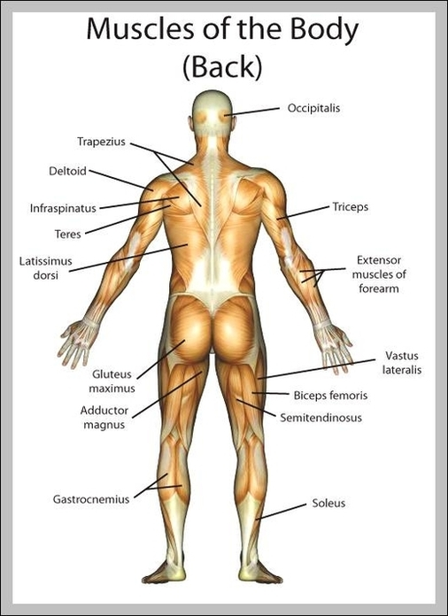 Human Back Muscles Diagram Search For Wiring Diagrams