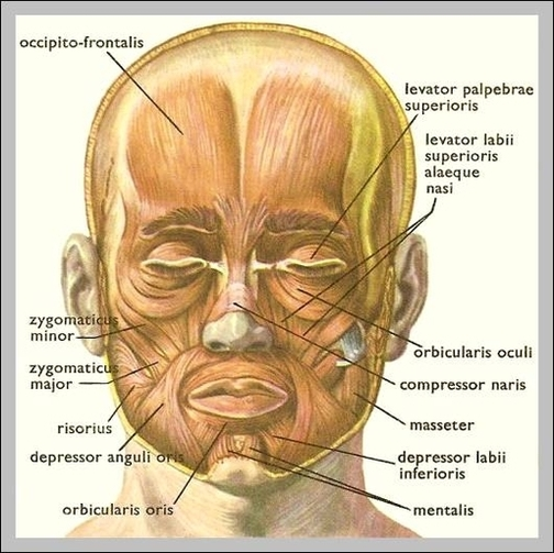 Diagrams anatomy system human body anatomy diagram and chart anatomy of face diagram anatomy of face chart human anatomy diagrams and charts explained this diagram depicts anatomy of face with parts and labels ccuart Gallery