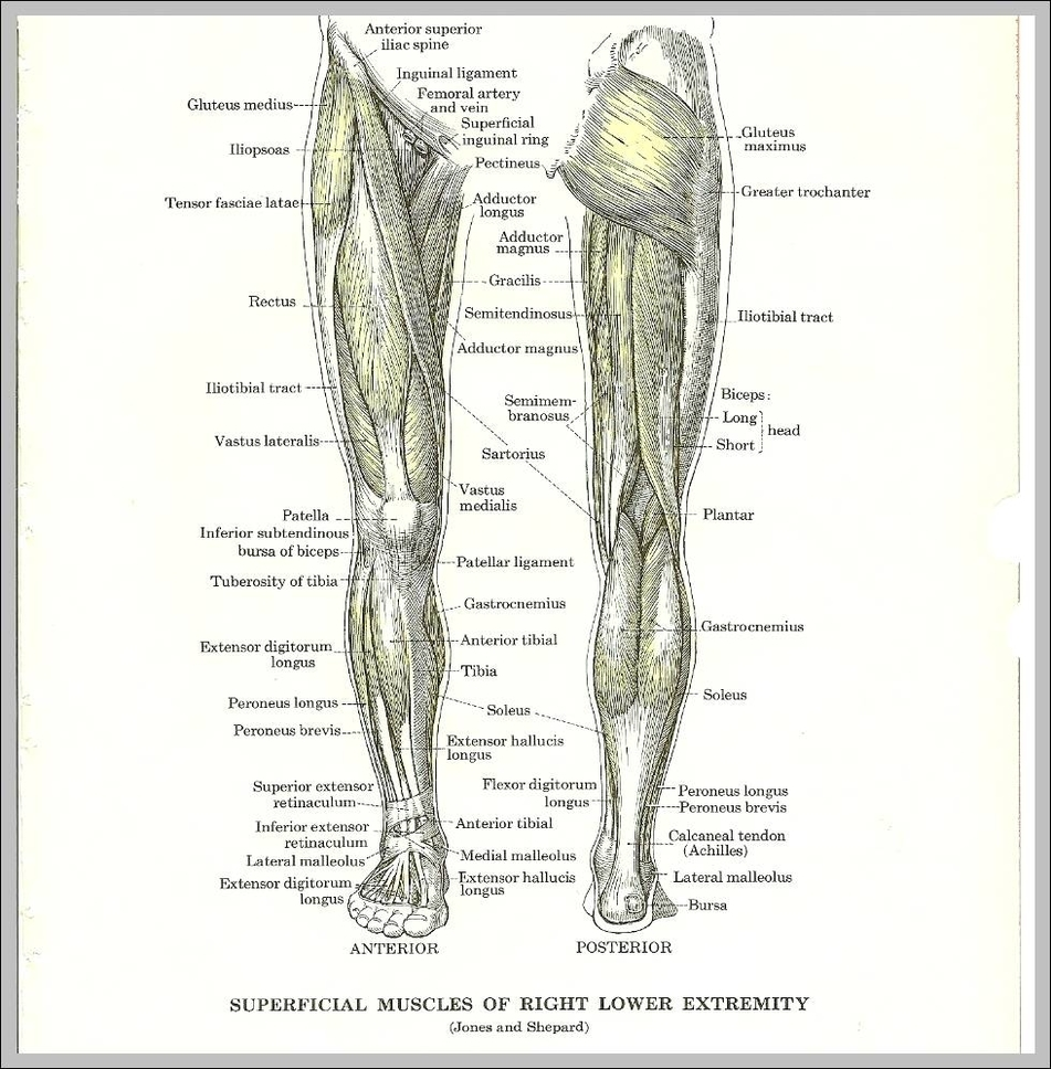 Muscles Anatomy System Human Body Anatomy Diagram And Chart Images