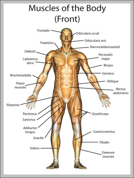 muscle diagram | Anatomy System - Human Body Anatomy diagram and ...