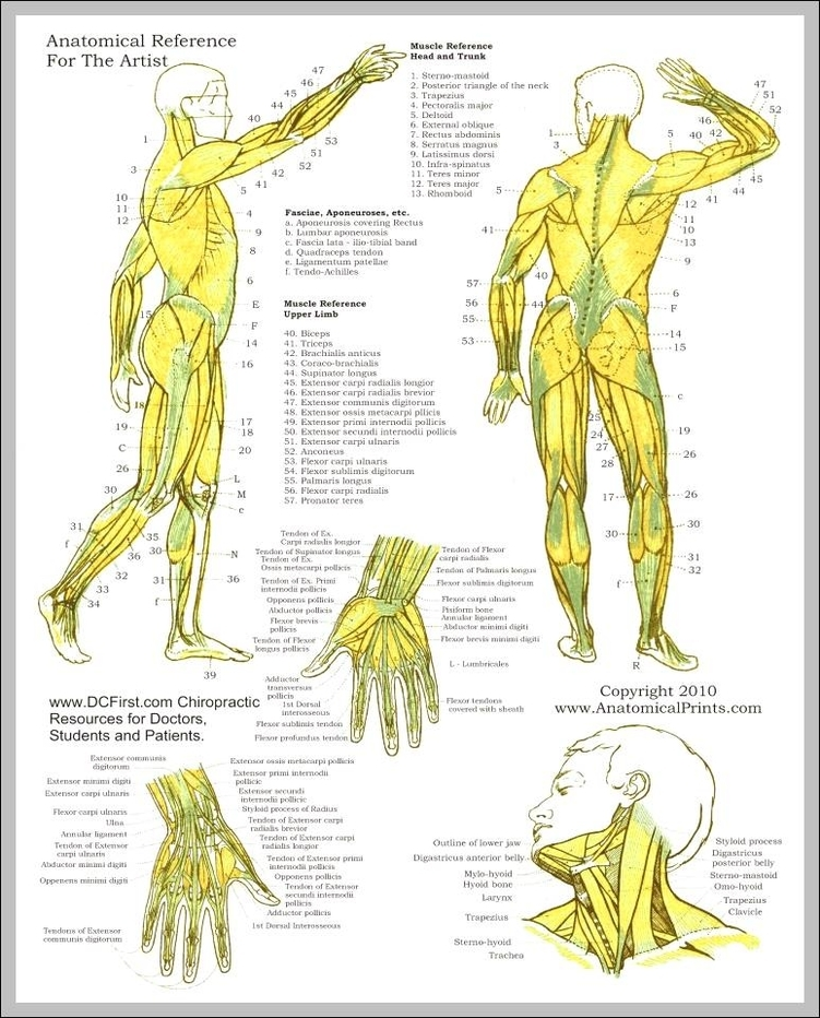 anatomy study guide muscles 744×962 | Anatomy System - Human Body ...
