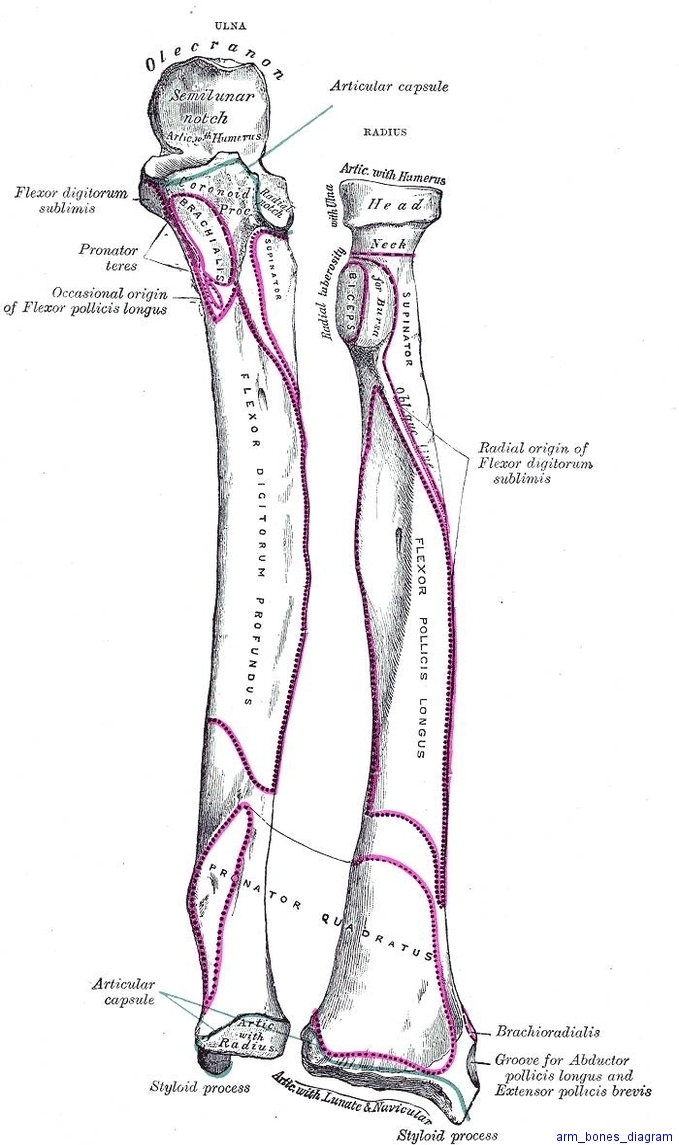 arm bones diagram diagram - arm bones diagram chart - human anatomy diagrams  and charts explained  this diagram depicts arm bones diagram with parts and
