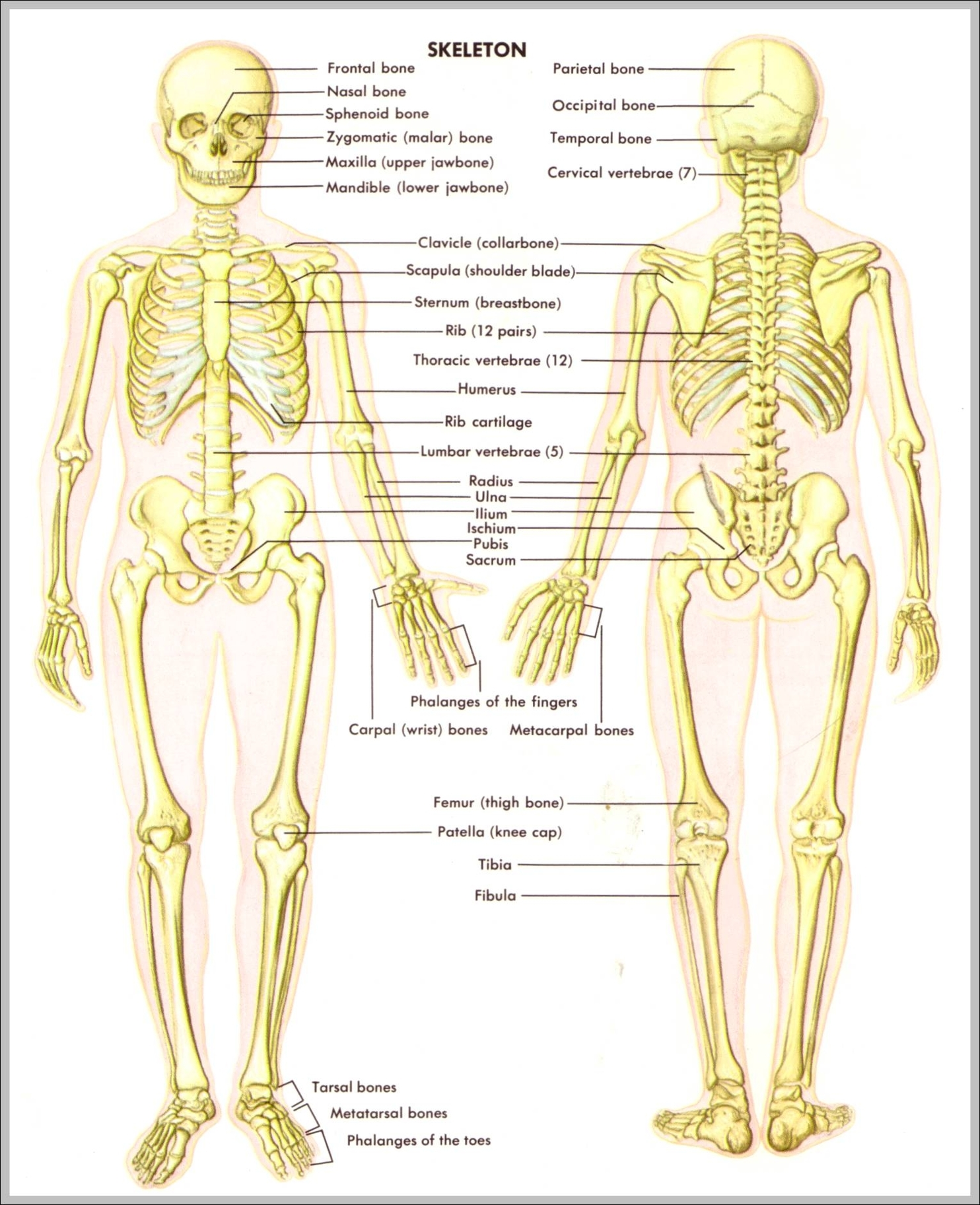 human skeleton | Anatomy System - Human Body Anatomy diagram and ...
