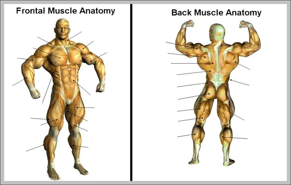 Blank Muscle Diagram 1024659 Anatomy System Human Body Anatomy