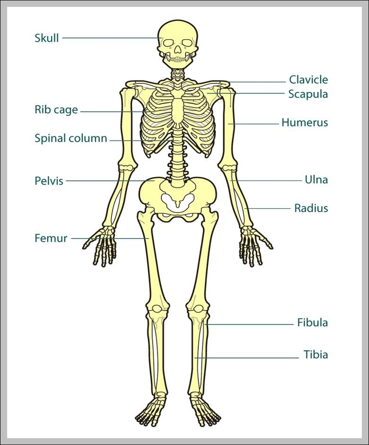 Body bones diagram data wiring diagrams body bones diagram anatomy system human body anatomy diagram and rh anatomysystem com body parts bones diagram body parts bones diagram ccuart Images