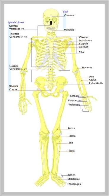 Anatomy of buttocks bones