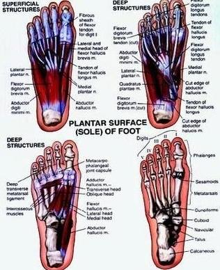 Foot Diagram Anatomy System Human Body Anatomy Diagram And Chart