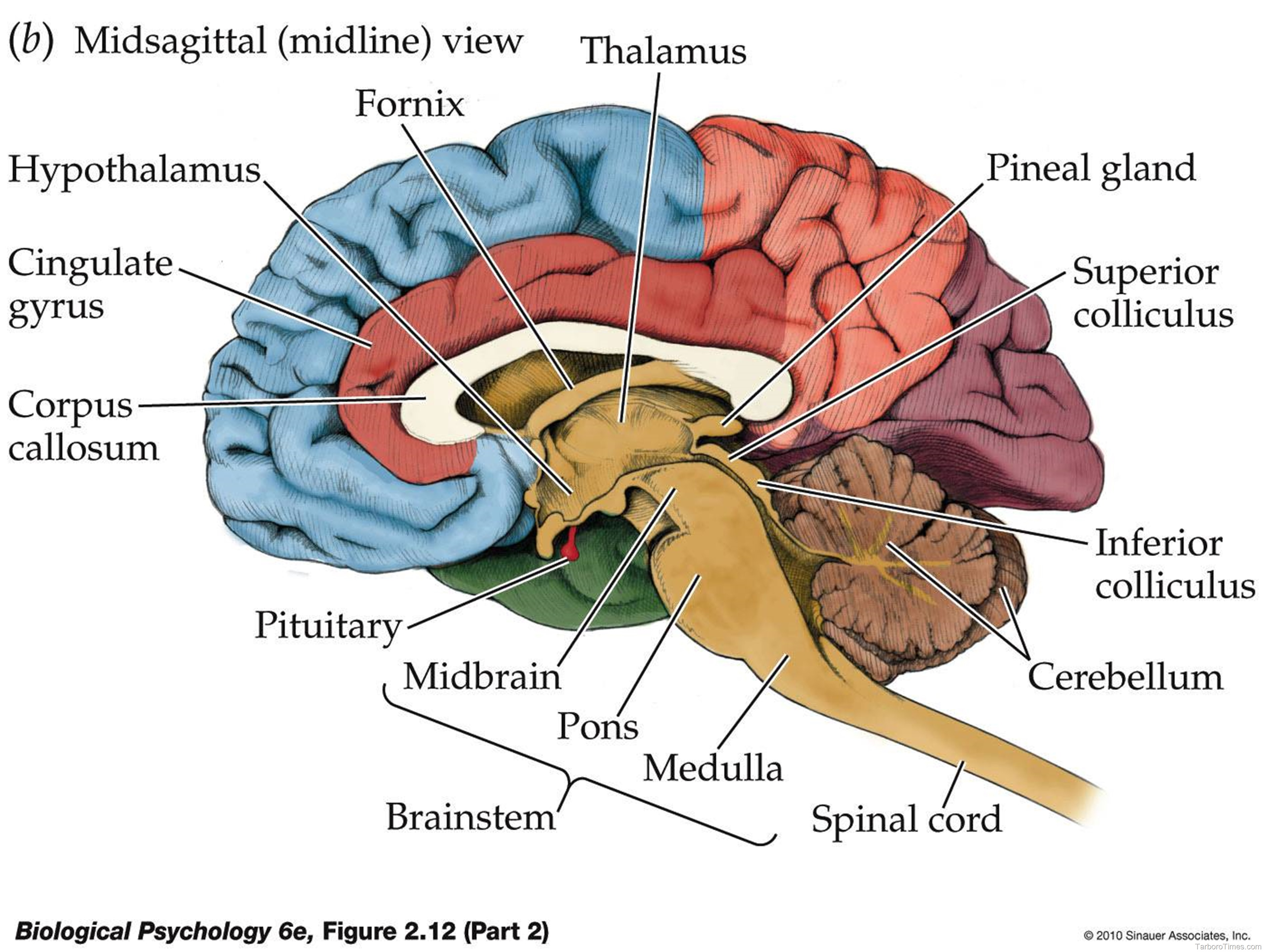 brain diagram | Anatomy System - Human Body Anatomy diagram and chart ...