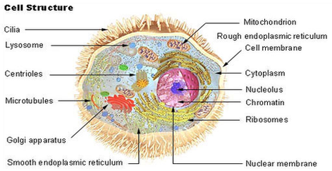 Cell structure diagram anatomy system human body anatomy diagram cell structure diagram ccuart Image collections