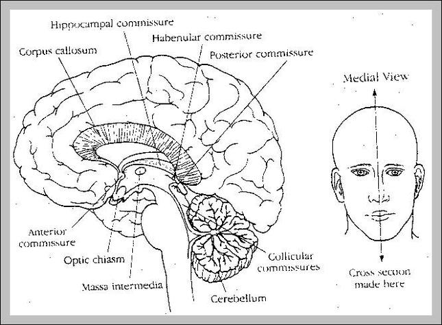 cerebral peduncle | Anatomy System - Human Body Anatomy diagram and ...