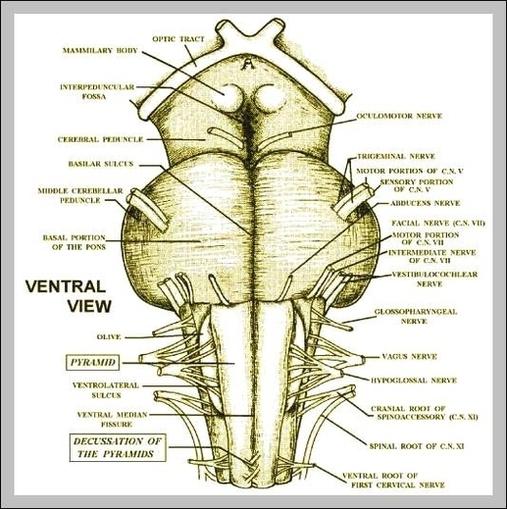 Cerebral Peduncles