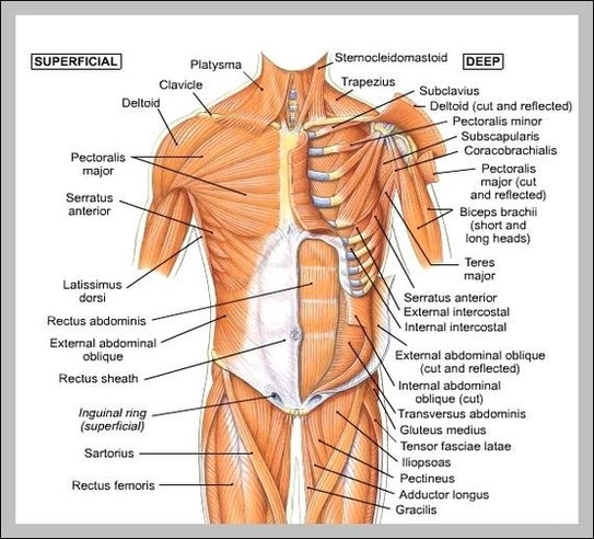 Anatomy system human body anatomy diagram and chart images human circulation system diagram circulation system chart human anatomy diagrams and charts explained this diagram depicts circulation system with parts and ccuart Image collections