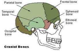 cranial bones diagram