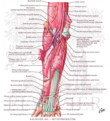Anatomy System - Human Body Anatomy diagram and chart images   Human ...
