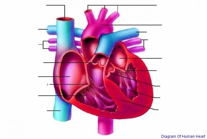 Diagram Of Human Heart Anatomy System Human Body Anatomy Diagram