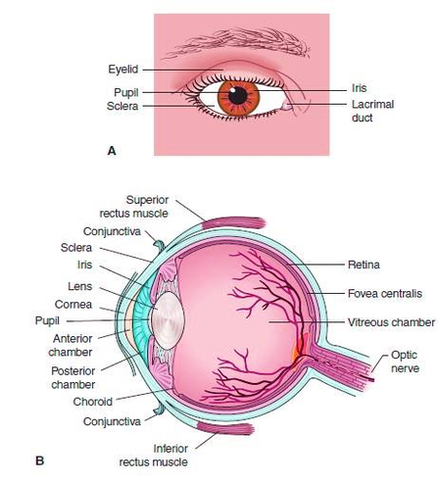 Diagram Of The Human Eye And Internal Anatomy Of The Eyeball