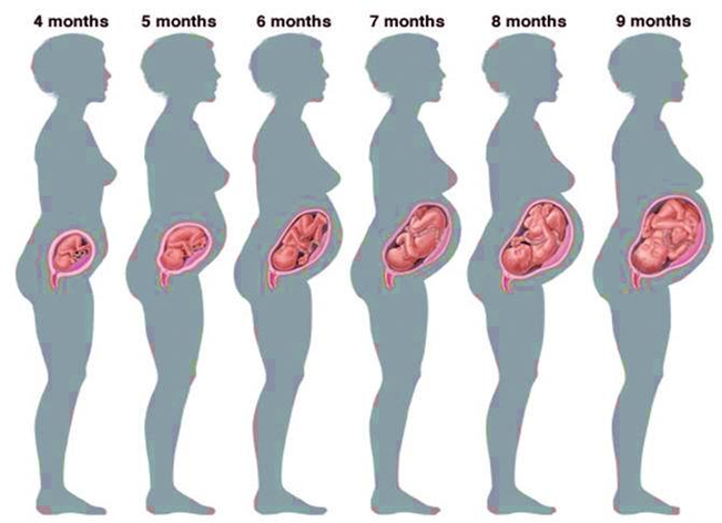 this diagram depicts diagram of the stages of pregnancy month by month with  parts and labels