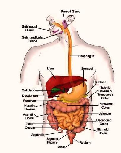 Digestive system diagram anatomy system human body anatomy digestive system diagram ccuart Images