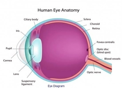 Human eye anatomy system human body anatomy diagram and chart images eye diagram diagram eye diagram chart human anatomy diagrams and charts explained this diagram depicts eye diagram with parts and labels ccuart Choice Image