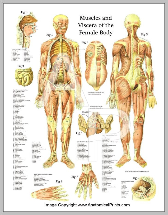 Female Muscle Anatomy Chart Anatomy System Human Body Anatomy