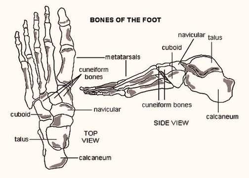 foot bones diagram diagram - foot bones diagram chart - human anatomy  diagrams and charts explained  this diagram depicts foot bones diagram with  parts and