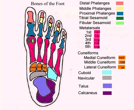 Anatomy system human body anatomy diagram and chart images human foot diagram with labels diagram foot diagram with labels chart human anatomy diagrams and charts explained this diagram depicts foot diagram with ccuart Gallery