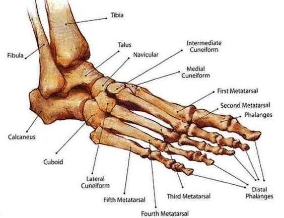 footankle bony anat diagram - footankle bony anat chart - human anatomy  diagrams and charts explained  this diagram depicts footankle bony anat  with parts