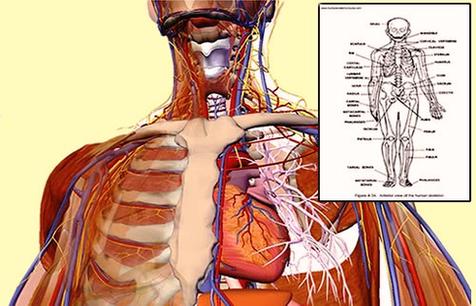 Internal Organs Anatomy System Human Body Anatomy Diagram And