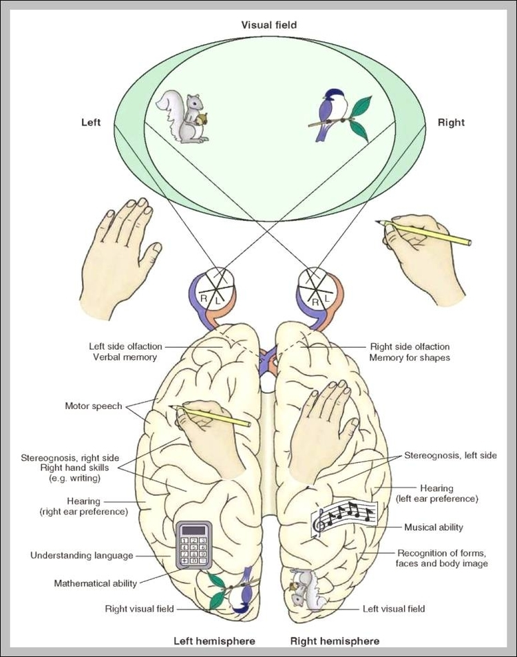 function of corpus callosum 744×985 | Anatomy System - Human Body ...