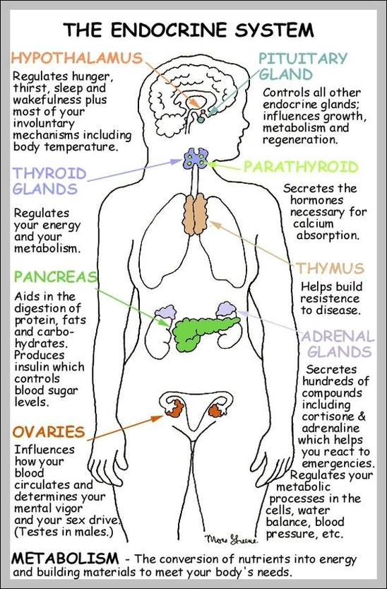Function Of The Endocrine System Anatomy System Human Body