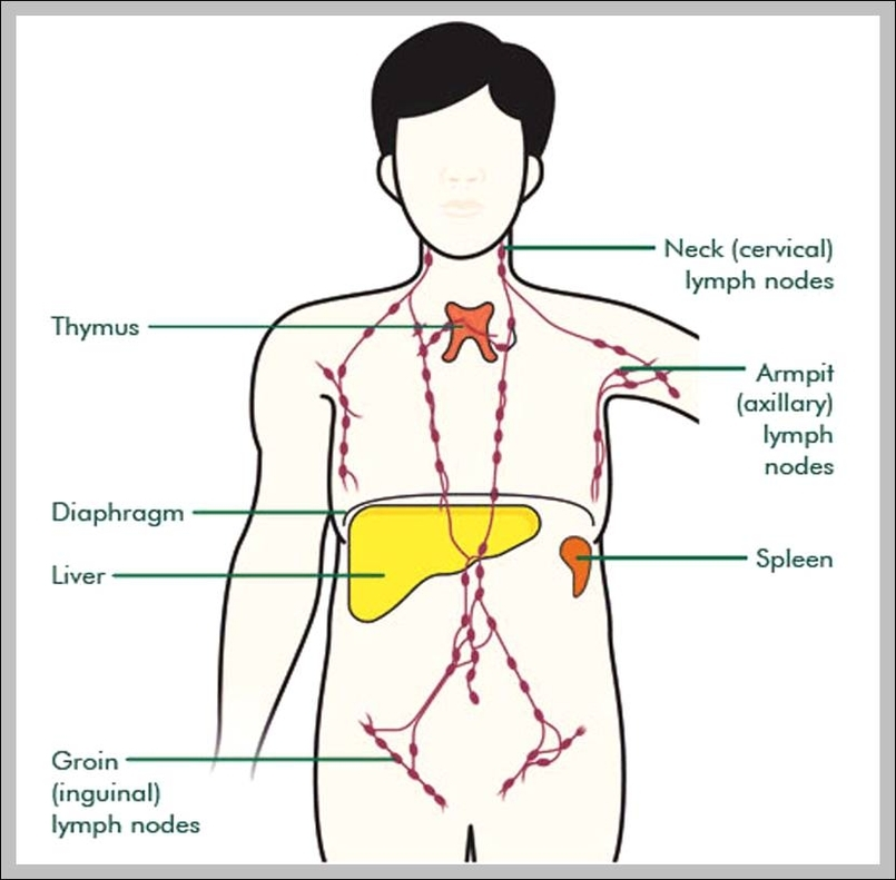 Functions Of The Thymus Gland Anatomy System Human Body Anatomy