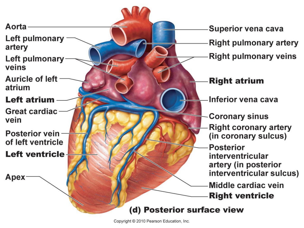 Body Organs Diagram Posterior View Location - DIY Enthusiasts Wiring ...