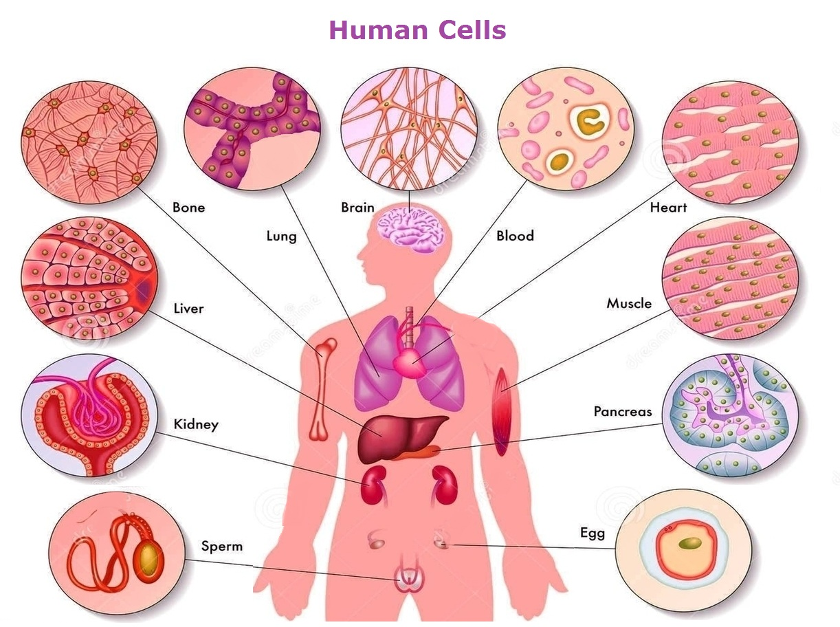 Human Body Cell Structure Diagram Of Photo21