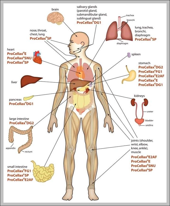 Ausgezeichnet Voll Menschlichen Körper Muskel Diagramm Ideen ...