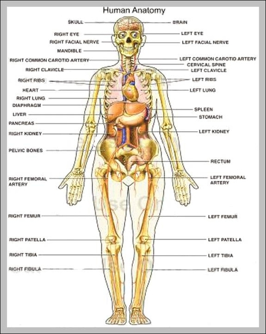 Human Body Map Of Organs Anatomy System Human Body Anatomy