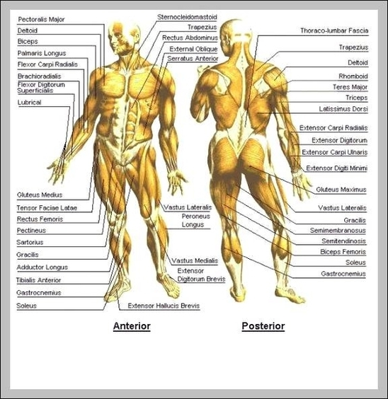 Muscles System Anatomy System Human Body Anatomy Diagram And