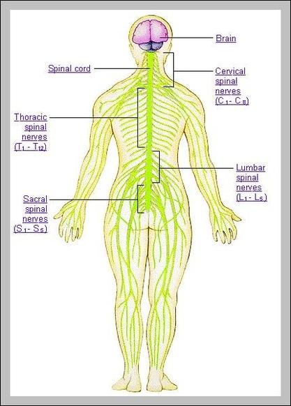 Human Body Nerves Anatomy System Human Body Anatomy Diagram And