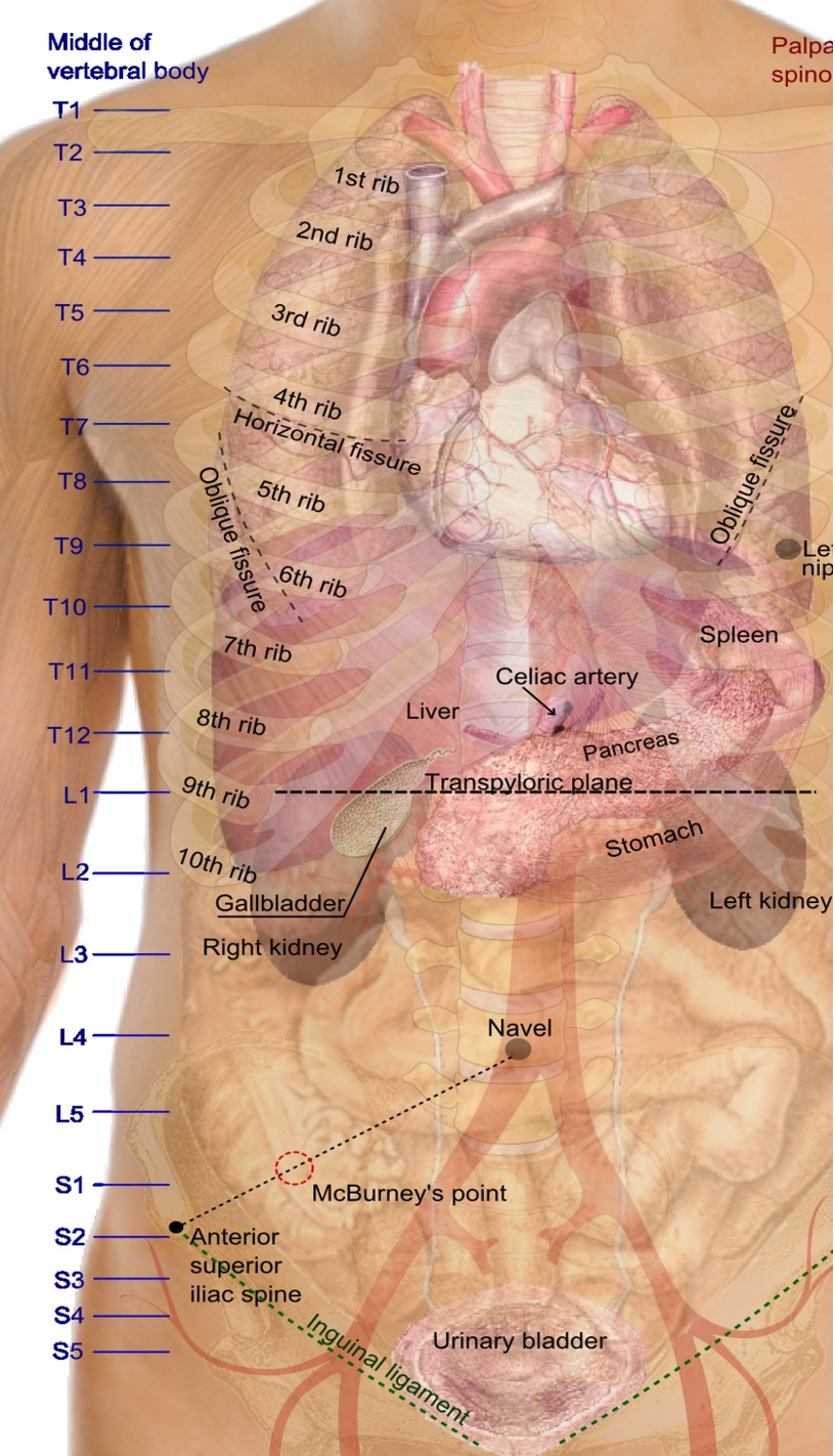 Female human body parts diagram