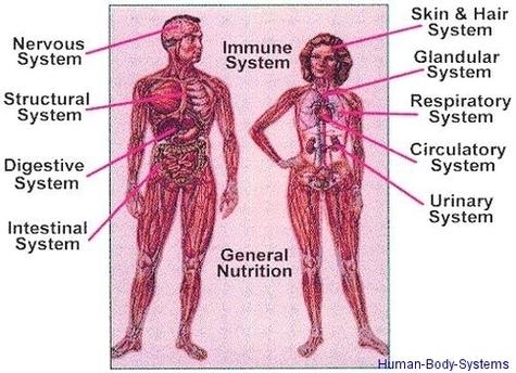 Human Body System Anatomy System Human Body Anatomy Diagram And