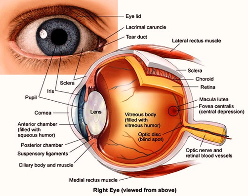 Human eye anatomy anatomy system human body anatomy diagram and human eye diagram ccuart Image collections