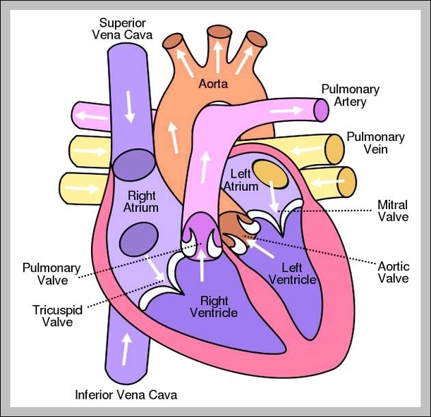Human Heart Parts Anatomy System Human Body Anatomy Diagram And