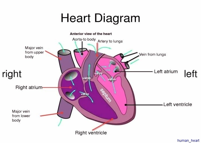 Human Heart Diagram Anatomy System Human Body Anatomy Diagram