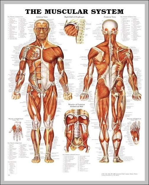 Male muscle system quiz