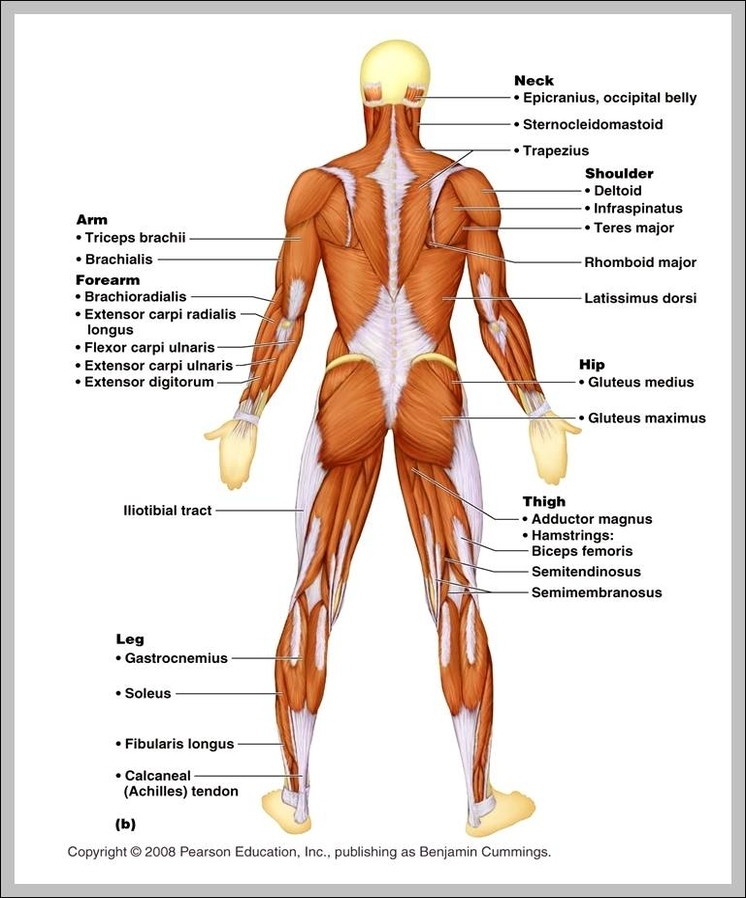 Muscle Anatomy System Human Body Anatomy Diagram And Chart