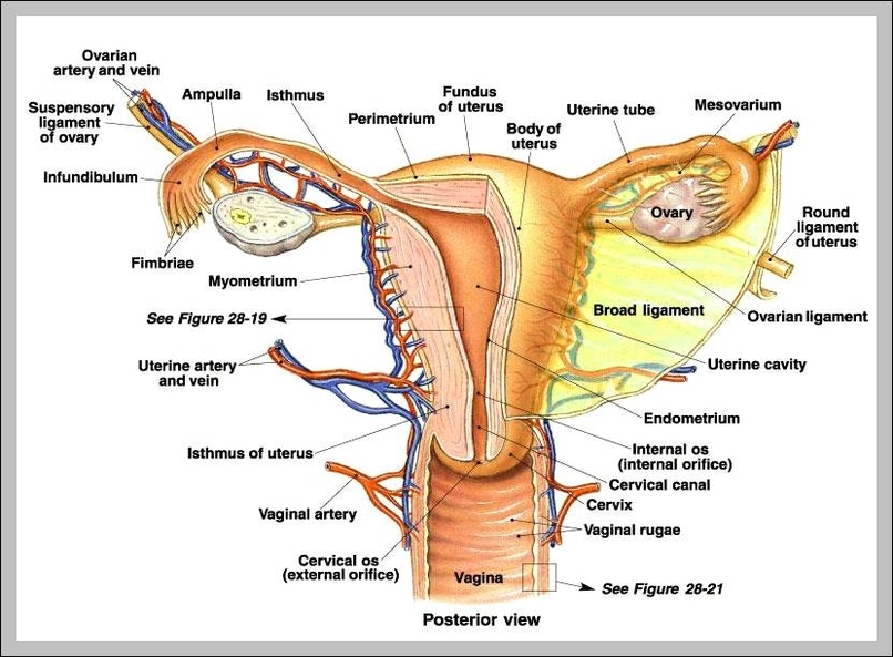 Female Anatomy Romeondinez