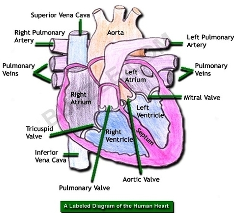 Human Heart Diagram Labeled